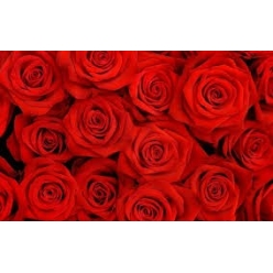 Red rose 6-8 pieces